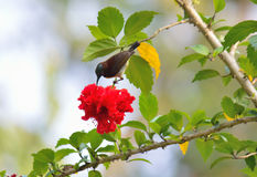 Индийское sunbird стоковые фото