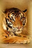 индокитайский тигр Стоковое Изображение