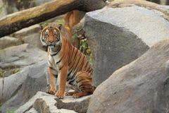 Индокитайский тигр Стоковые Фото