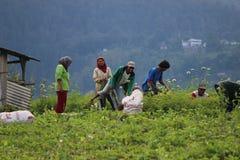 Индонезийское органическое сельское хозяйство Стоковые Изображения RF