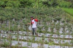 Индонезийское органическое сельское хозяйство Стоковое Фото