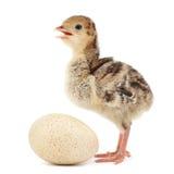Индюк цыпленка стоковые изображения