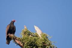 индюк buzzard Стоковое Изображение