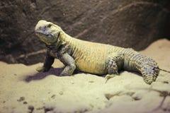 Иракец Колючий-замкнуло ящерицу стоковые изображения