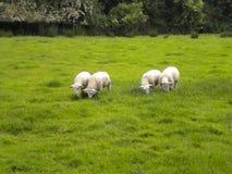 Ирландские овцы - графство Wicklow Ирландия стоковая фотография
