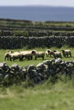 ирландские овцы Стоковая Фотография RF