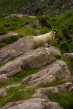 ирландские овцы стоковое изображение