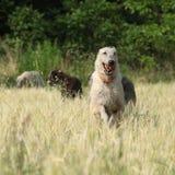 Ирландские wolfhounds бежать в природе Стоковое фото RF