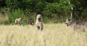 Ирландские wolfhounds бежать в природе Стоковые Фотографии RF