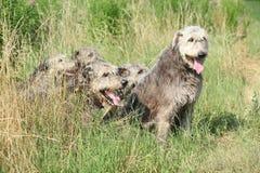 Ирландские wolfhounds отдыхая в высокой траве Стоковое фото RF