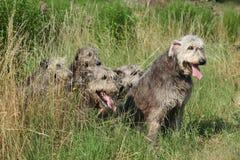 Ирландские wolfhounds отдыхая в высокой траве Стоковое Изображение