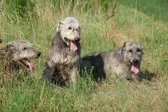 Ирландские wolfhounds отдыхая в высокой траве Стоковое Фото