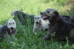 Ирландские wolfhounds отдыхая совместно в тени Стоковые Изображения RF