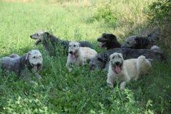 Ирландские wolfhounds отдыхая совместно в тени Стоковое фото RF