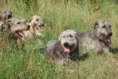 Ирландские wolfhounds отдыхая совместно Стоковое Изображение RF