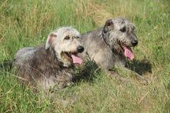Ирландские wolfhounds отдыхая совместно Стоковая Фотография