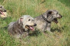 Ирландские wolfhounds отдыхая совместно Стоковые Фотографии RF