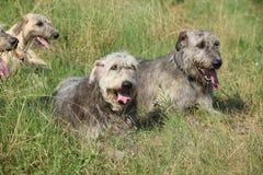 Ирландские wolfhounds отдыхая совместно Стоковая Фотография RF