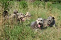 Ирландские wolfhounds отдыхая совместно Стоковое Фото