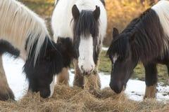 3 ирландских пони удара есть сено с снегом Стоковое Изображение
