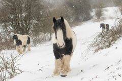 3 ирландских пони удара идя в сильный снегопад Стоковые Изображения RF