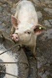 ирландское oink Стоковое Изображение RF