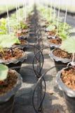 Ирригационная система капельного орошения для органического завода дыни Стоковые Фотографии RF