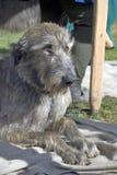 Ирландская собака wolfwound Стоковые Изображения RF