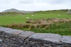 Ирландские каменные загородка и овца Стоковые Фото