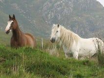 Ирландские пони трясины Стоковое Изображение RF