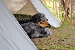 Ирландские собаки wolfwound Стоковые Фотографии RF