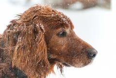 Ирландский в снежке стоковое изображение