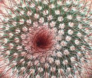 Ирландский красный головной кактус Стоковая Фотография