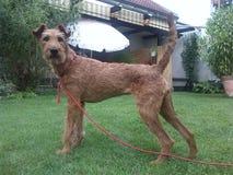 ирландский terrier стоковое фото rf