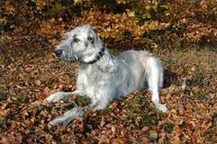 Ирландский Wolfhound в покое в лесе стоковые изображения rf
