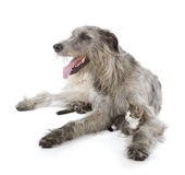 Ирландский Wolfhound Стоковая Фотография