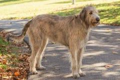 ирландский wolfhound стоковое изображение rf