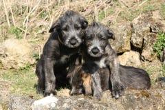 3 ирландских Wolfhounds в саде Стоковая Фотография