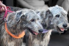 2 ирландских wolfhounds Стоковые Изображения