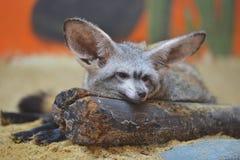 лисица летучей мыши eared Стоковая Фотография RF