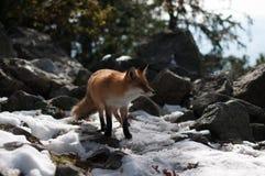 лисица одичалая Стоковые Фото