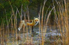 лисица Стоковая Фотография RF