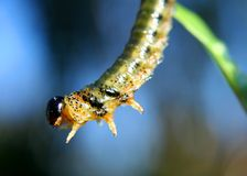 искать гусеницы Стоковое Фото