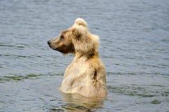 искать медведя коричневый salmon Стоковое фото RF