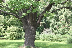 Исконный дуб Стоковая Фотография RF