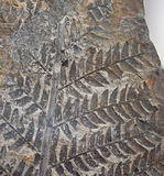 Ископаемая картина папоротника завода на каменной поверхностной текстуре Стоковое Фото