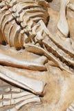 ископаемые динозавра Стоковое фото RF