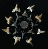 Ископаемые зубы акулы на черной предпосылке стоковое фото