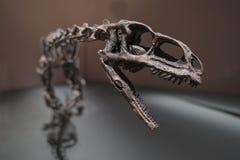 Ископаемые динозавра Стоковая Фотография RF