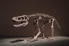 Ископаемые динозавра Стоковые Фотографии RF